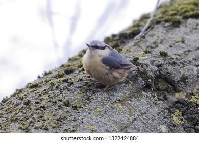 A Eurasian nuthatch or wood nuthatch (Sitta europaea) on a tree.