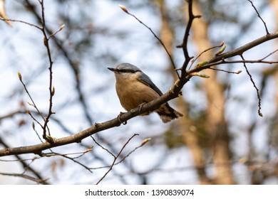 The eurasian nuthatch or wood nuthatch (Sitta europaea)