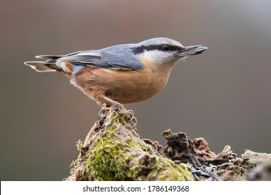 The Eurasian nuthatch or wood nuthatch (Sitta europaea) is a small passerine bird with blue back and orange lower part of body. white head with black mask. Garden bird eat some seeds. Winter time.