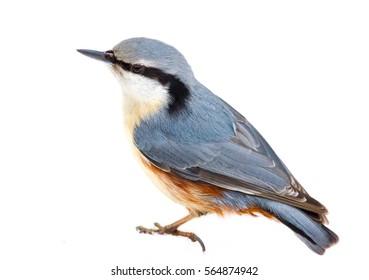 Eurasian nuthatch or wood nuthatch (Sitta europaea) bird on a white background