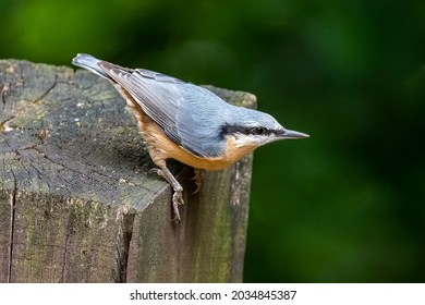 The Eurasian nuthatch or wood nuthatch is a small passerine bird found throughout the Palearctic and in Europe, where its name is the nuthatch