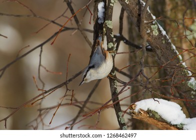 Eurasian nuthatch (wood nuthatch) weighs on a branch upside down in a winter forest park.