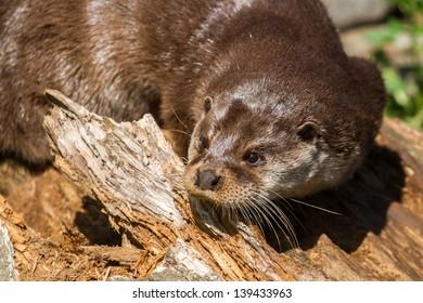Eurasian otter closeup