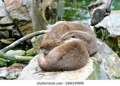The Eurasian otter (Lutra lutra), other names: European otter, Eurasian river otter. Two cute cuddling otters. Otters in love