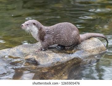 Eurasian otter (Lutra lutra) in Sweden.