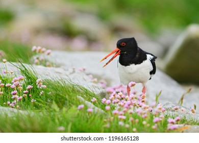 Eurasian Oystercatcher - Haematopus ostralegus, beautiful bird from European and Asian coasts and cliffs.