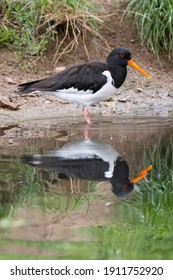 Eurasian oystercatcher (Haematopus ostralegus) or common pied oystercatcher. Bird with black back and head, white lower part of body and orange feet and beak, standing in the water on the edge of lake