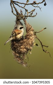 Eurasian penduline build his nest