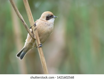 The Eurasian penduline tit (Remiz pendulinus) is a passerine of the genus Remiz.
