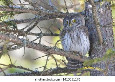Eurasian Pygmy Owl (Glaucidium passerinum) on a Fir Tree