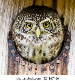 The Eurasian pygmy owl (Glaucidium passerinum) is the smallest owl in Europe. The owl preys on birds, some nearly as large as itself, and small mammals, such as voles. Here in a starling nest.
