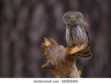 Eurasian Pygmy Owl - Glaucidium passerinum - spring / mating season - Trakai district, Lithuania