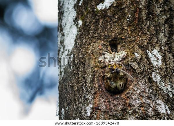 Eurasian pygmy owl in its nesting cavity. Glaucidium passerinum.