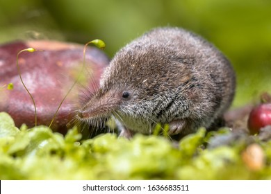 Eurasian pygmy shrew (Sorex minutus) mouse in natural habitat. This is one of the smallest mammals in the world.
