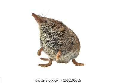 Eurasian pygmy shrew (Sorex minutus) mouse on white background. This is one of the smallest mammals in the world.