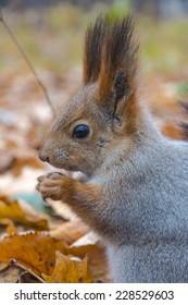 Eurasian red squirrel gnaws nut