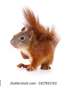 Eurasian red squirrel isolated on white background.