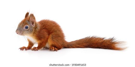 Ich wie squirle Squirrel Flower: