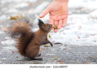 Eurasian red squirrel (Sciurus vulgaris) taking nuts from man hand. In winter season is difficult for squirrels to find food and people often feed them.