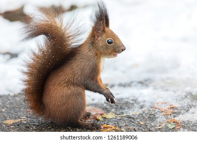 Eurasian red squirrel (Sciurus vulgaris) on ground looking for seeds and food in snow. In winter season is difficult for squirrels to find food and often come close to people who feed them.