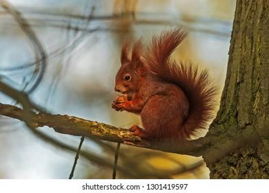 Eurasian red squirrel (Sciurus vulgaris) on the oak branch and eating nut