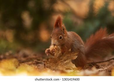 Eurasian red squirrel (Sciurus vulgaris) with nurw close up