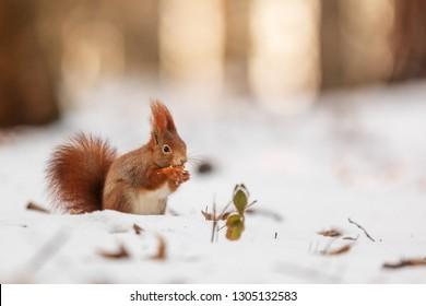 Eurasian red squirrel (Sciurus vulgaris) nic portrait