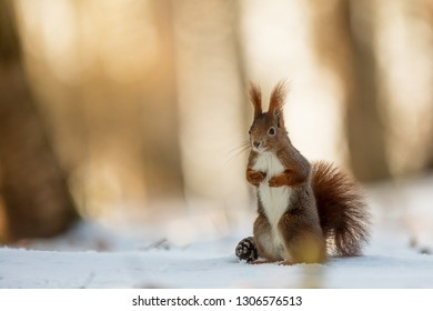 Eurasian red squirrel (Sciurus vulgaris) is standind on the snow with backlight