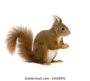 Eurasian red squirrel - Sciurus vulgaris (2 years) in front of a white background