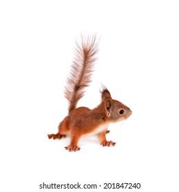 Eurasian red Squirrel, Sciurus Vulgaris on white
