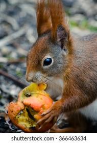 Eurasian red squirrel (Sciurus vulgaris) eating an apple core
