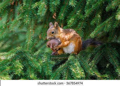Eurasian red squirrel (Sciurus vulgaris) mother wrapping its baby for moving from a garden spruce to another nest site.