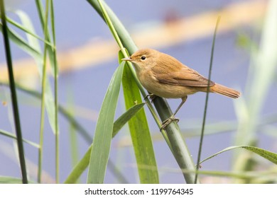 Eurasian reed warbler - acrocephalus scirpaceus - perched in the reeds