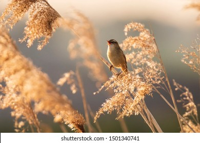 Eurasian reed warbler Acrocephalus scirpaceus bird singing in reeds during sunrise. Early sunny morning in Summer