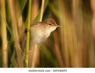 Eurasian Reed Warbler, Acrocephalus scirpaceus, male hangs on reed stem in typical environment of reedbeds. Spring time, Europe, Czech republic.