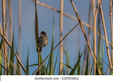 The Eurasian reed warbler, or just reed warbler (Acrocephalus scirpaceus) in environment of reedbeds.