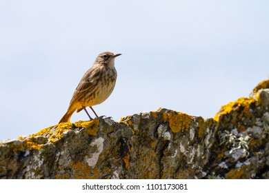 Eurasian Rock Pipit (Anthus petrosus) on rocks in Cornwall, UK
