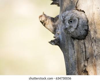 Eurasian scops owl (Otus scops) in its nest on a tree in the forest