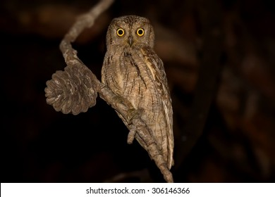 Eurasian Scops Owl sitting on perch - Otus scops