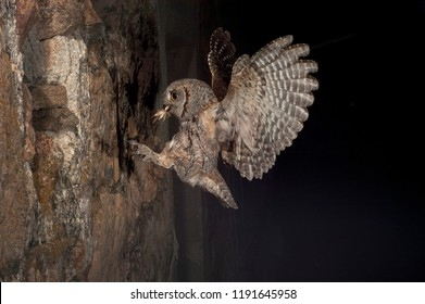 Eurasian Scops Owl, small owl, flying and hunting, with an insect grasshopper in the beak, night scene