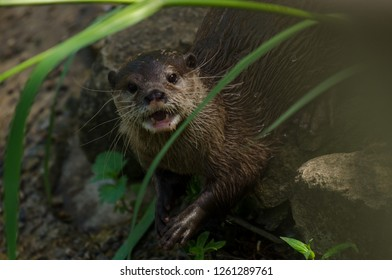 A eurasian short clawed otter