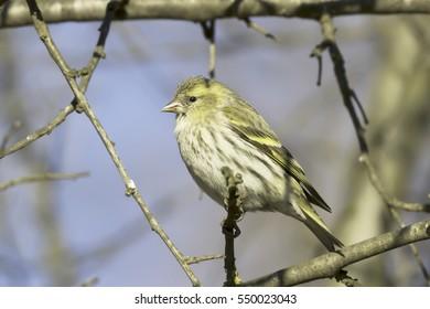 Eurasian Siskin, Carduelis spinus,female, song bird sitting on the branch