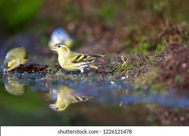 Eurasian Siskin drinking from pond, the Netherlands