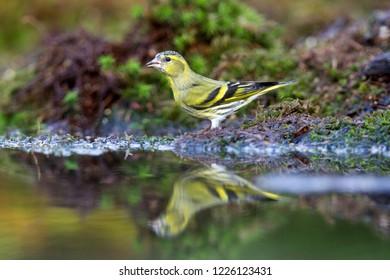 Eurasian Siskin is drinking from pond, the Netherlands
