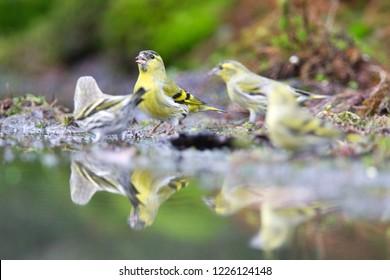 Eurasian Siskin drinks from a pond, the Netherlands
