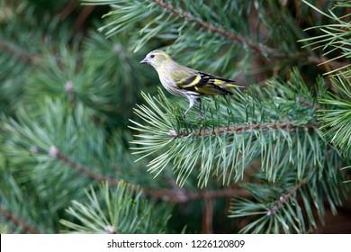 Eurasian Siskin is sitting on pine branch, the Netherlands
