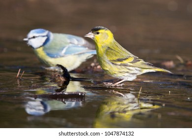 Eurasian siskin (Spinus spinus) and Eurasian blue tit (Cyanistes caeruleus) are drinking at an ice hole in the forest in the netherlands.