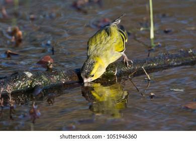 Eurasian siskin (Spinus spinus) drinking water in the Netherlands