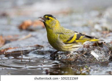 Eurasian siskin (Spinus spinus) at an ice hole in the Netherlands