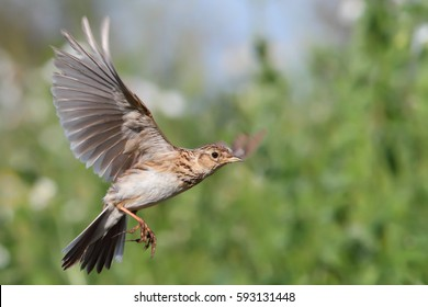 Eurasian skylark. Alauda arvensis. Bird in flight. Flying lark.